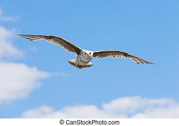 A gull in the sky a bird flies against the blue sky.