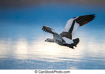 A gull is flying over the surface of the lake. Shevelev.