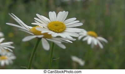 A gust of wind blows away syrphid fly from chamomile flower. Super slow motion 1000 fps