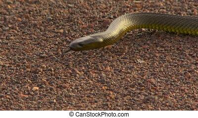 A gwardar snake recoiling - Close up as a gwardar snake ...