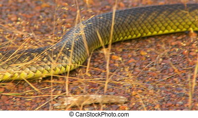 A gwardar snake's body as it slithers past - Tracking shot...