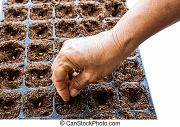 A hand sowing watermelon seed on tray with background.