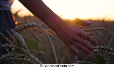 A hand touches the ears of wheat in a field. The sun's rays through your fingers. Sunset