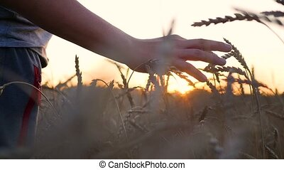 A hand touches the ears of wheat in a field.The sun's rays through your fingers. Sunset