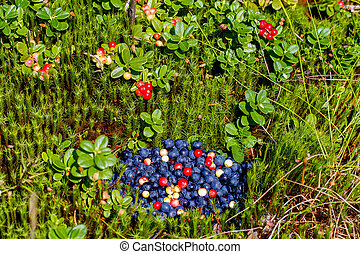 A handful of freshly picked blueberries, and cranberries in a forest glade. Cranberry bushes in the background.