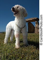 A happy dog on green grass - A happy poddle dog on a green...