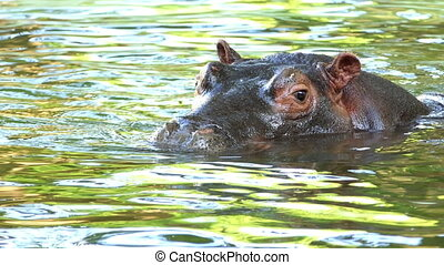 a Happy Hippopotamus Relaxes in a Pond on a Sunny Day in Summer in Slow Motion