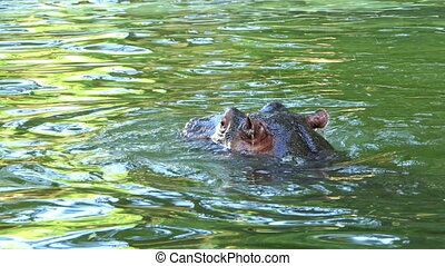 a Happy Hippopotamus Swims in a Pond on a Sunny Day in Summer