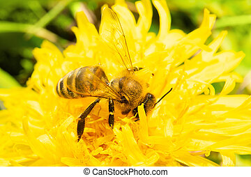 A hardworking bee collects nectar from flower dandelion