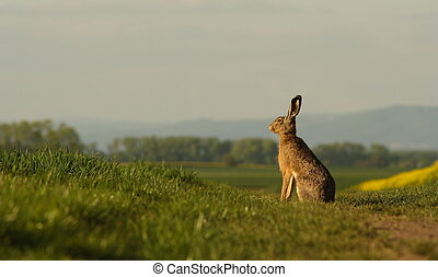 A hare sitting on the balk. - A hare sitting on the balk ...