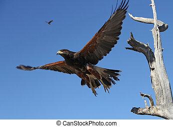 Harris Hawk - A Harris Hawk in flight