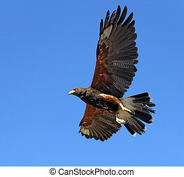 Harris Hawk - A Harris Hawk in flight