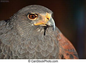 Harris Hawk (Parabuteo unicinctus) - A Harris Hawk (...