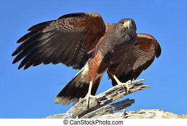 Harris Hawk - A Harris Hawk (Parabuteo unicinctus).