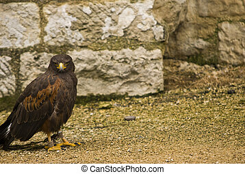 Harris Hawk watching