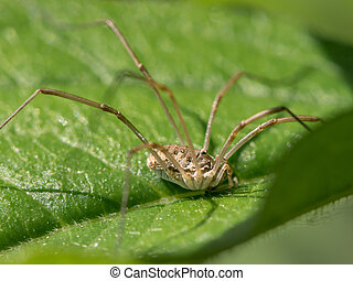 A harvester sitting on a green leaf in direct sunlight