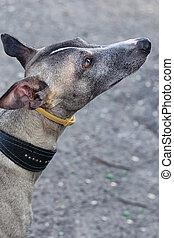 a, haustier, gleichfalls, dog., devotio