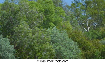 A hawk hunting above the trees in the outback - A hawk...
