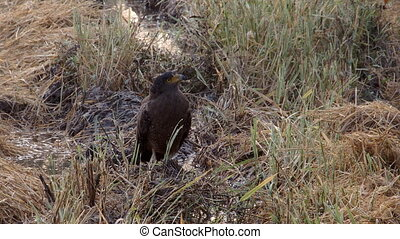 A hawk in Sri Lanka - A wild hawk resting on the muddy field...