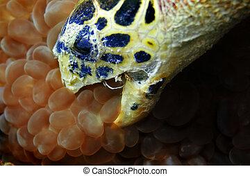 Hawksbill turtle - A Hawksbill turtle eating bubble corals