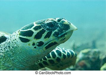 Hawksbill turtle - A Hawksbill turtle swims right