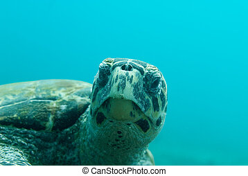 Hawksbill turtle - A Hawksbill turtle turns inward