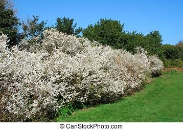 Hawthorne hedge - A Hawthorne hedge flowering in Spring.