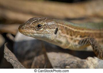 A head of a mediterranean lizard in summer - A closeup of a...
