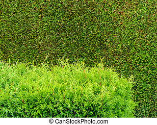 arborvitae as a privacy - a hedge of arborvitae as a privacy...