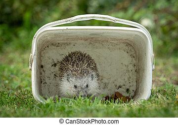 A hedgehog hiding in a box in a green meadow