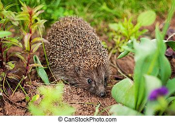 Hedgehog - A Hedgehog in a garden- young animal