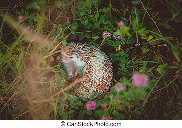 a hedgehog in thicket of summer green clover and grass