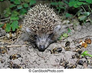 A hedgehog is a hospital attendant of apiary.