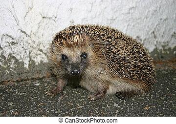 A hedgehog looking towards the camera