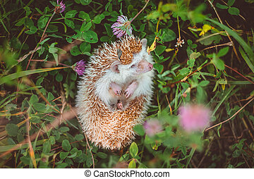a hedgehog lying in clover on the back smelling a grass