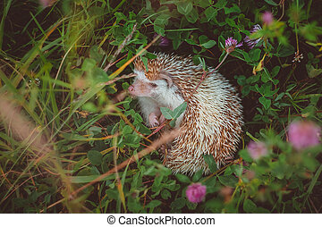 a hedgehog lying in thicket of summer green clover and grass
