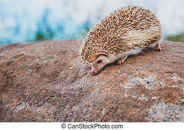 a hedgehog standing on a stone on a blurred forest background