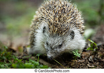 A hedgehog walking in a green meadow
