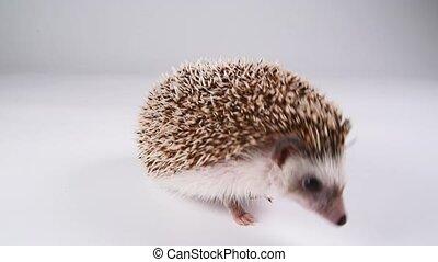 A hedgehog walking over white background. - A hedgehog...