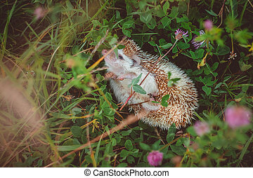 a hedgehog wallow in thicket of summer green clover and grass