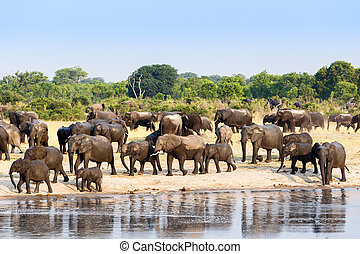 A herd of African elephants drinking at a muddy waterhole,...