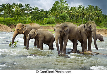 A herd of Asian Elephants cross a large river