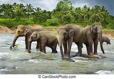 A herd of Asian Elephants cross a large river