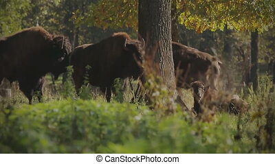 A herd of bison in the Elanetsk reserve. (Ukraine)