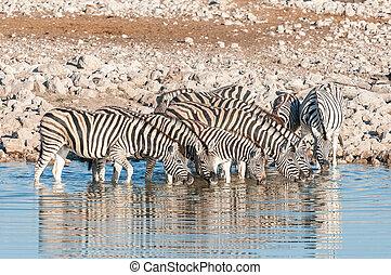 Burchells Zebras (Equus quagga burchellii) drinking water -...