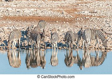 Burchells Zebras (Equus quagga burchellii) with reflections...