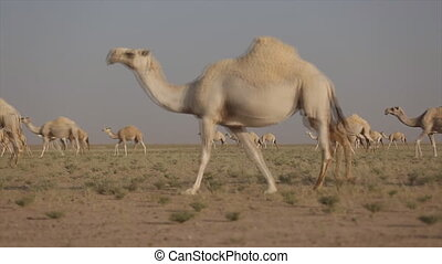 A herd of camels in the desert