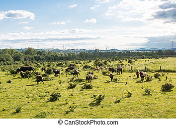 A herd of cattle Heck, grazing in a clearing on a spring ...