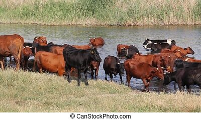 A herd of cows at the watering