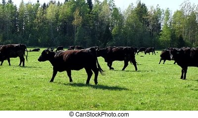 A herd of cows breed black Angus
